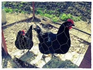 chickens.2