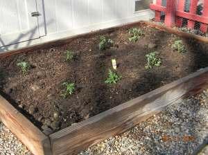 Planted My Tomato Plants