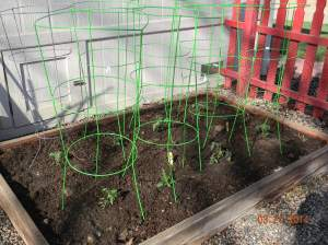 Barely Planted Caged Tomatoes