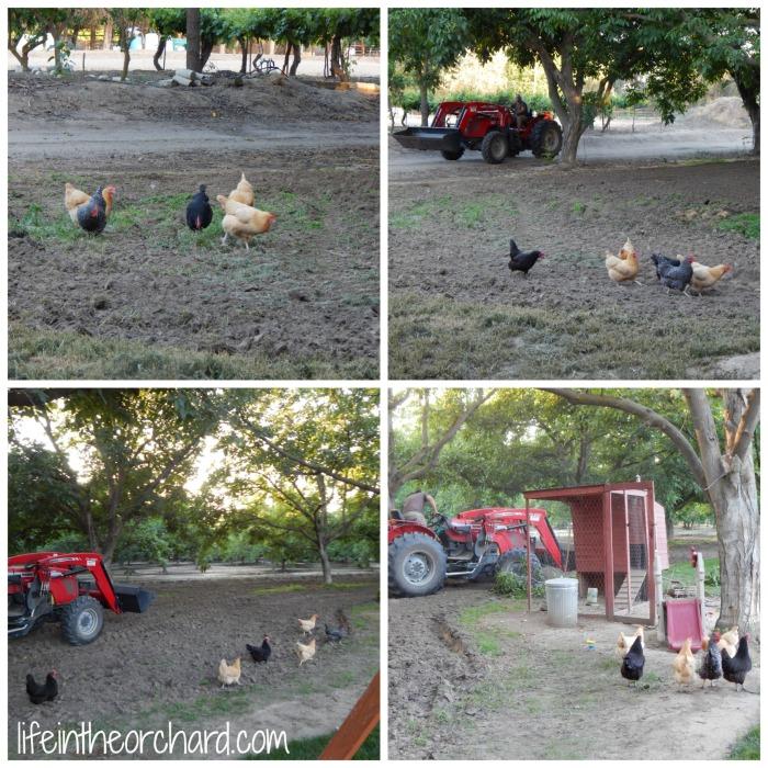 Chickens Running